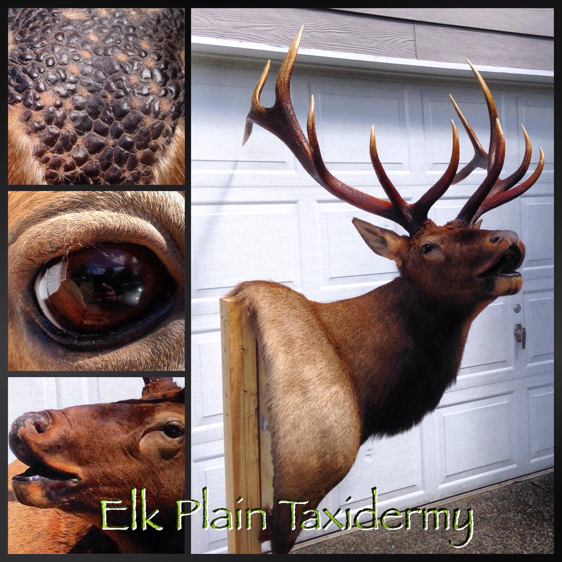 roosevelt elk shoulder western washington mount  Elk Plain Taxidermy